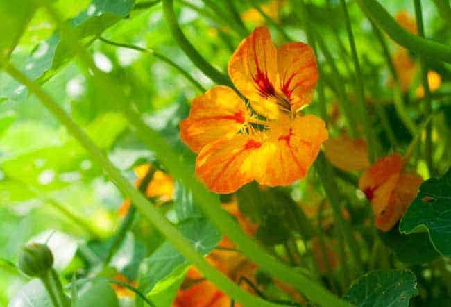Nasturtium in the grass