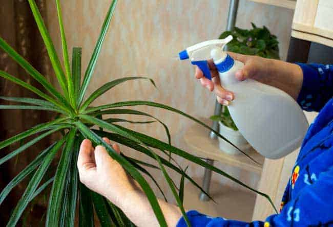 spraying house plants with water