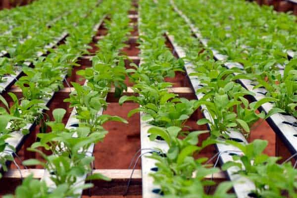 Aquaponic lettuce