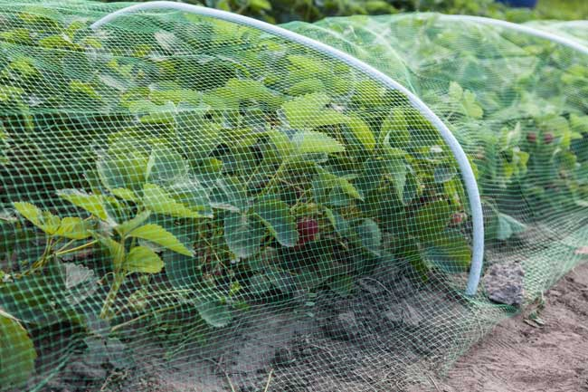 strawberry under mesh