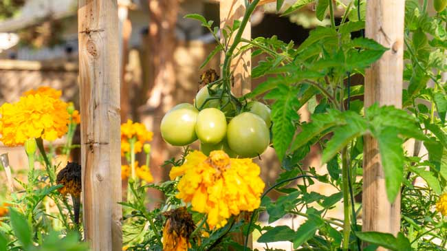 tomatoes planted with marigolds
