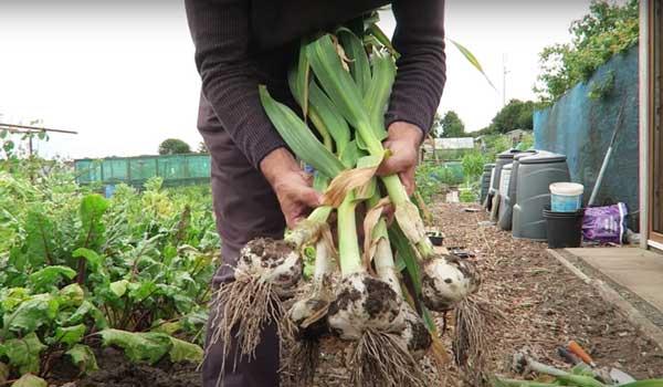 Tony O'Neill showing harvested garlic