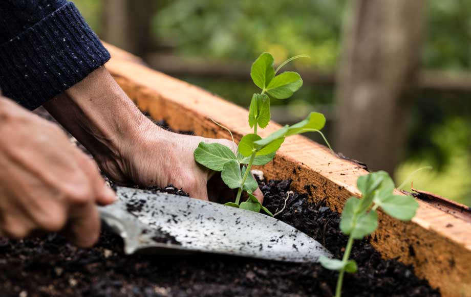 planting peas into a raised bed