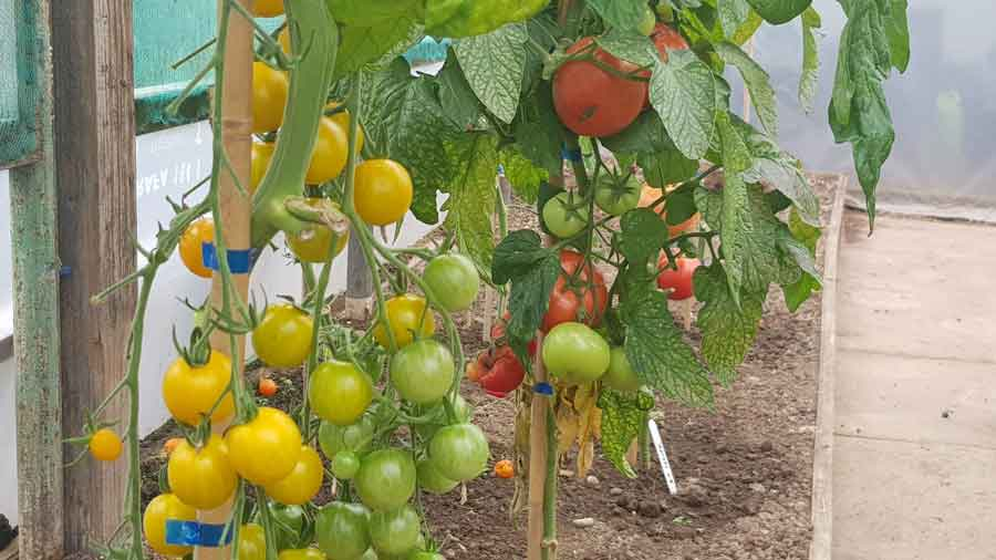 tomato plants growing in Simplify Gardening tunnel