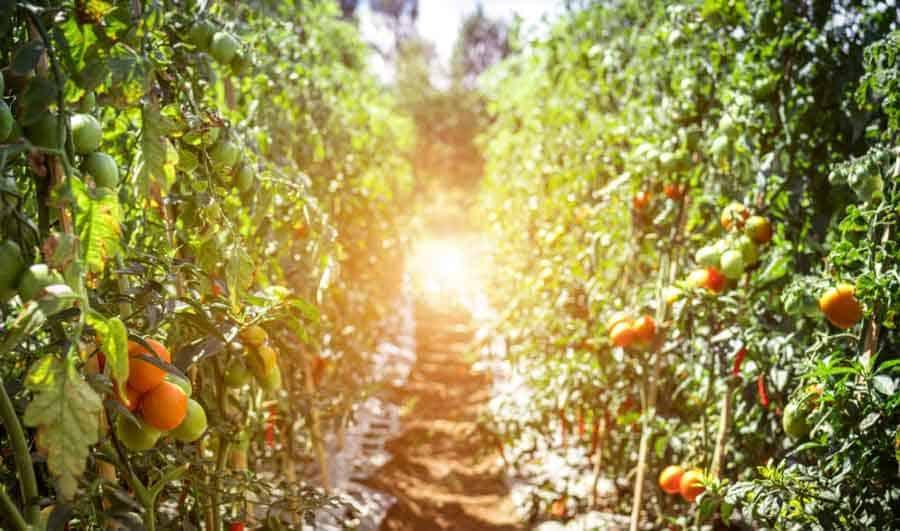 commercial tomato plants