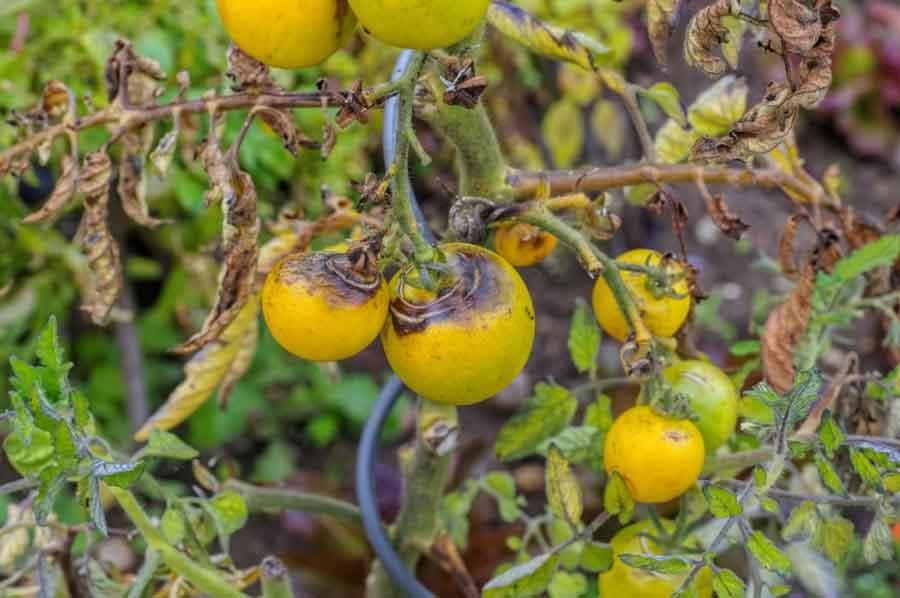 diseased tomato plants