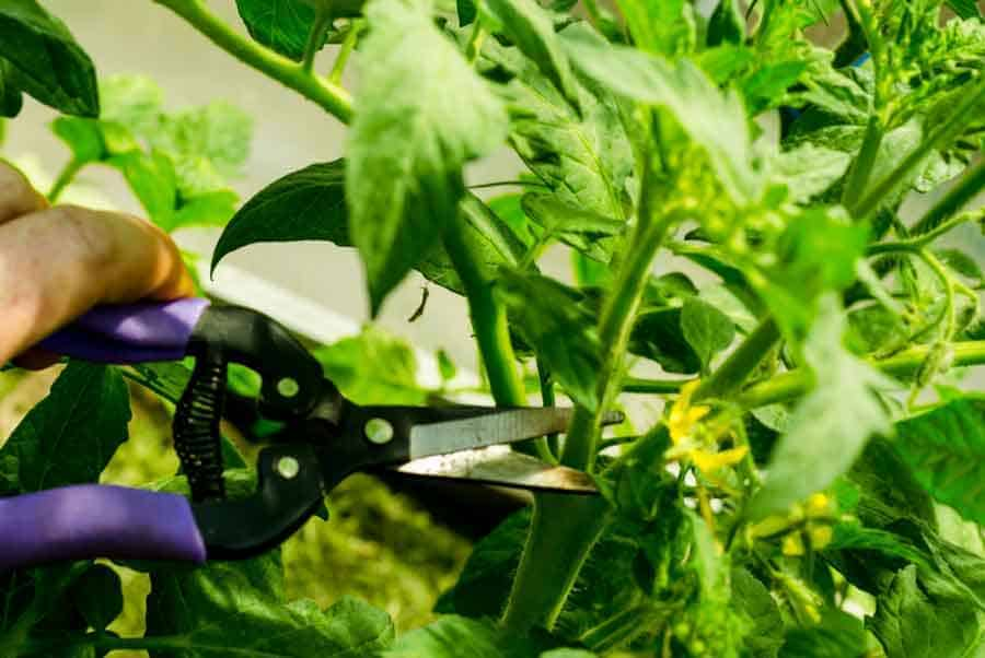 pruning tomatoes