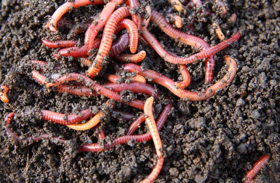 worms on soil