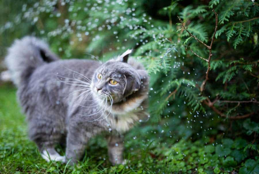 Cat-Shaking-off-water-from-sprinkler