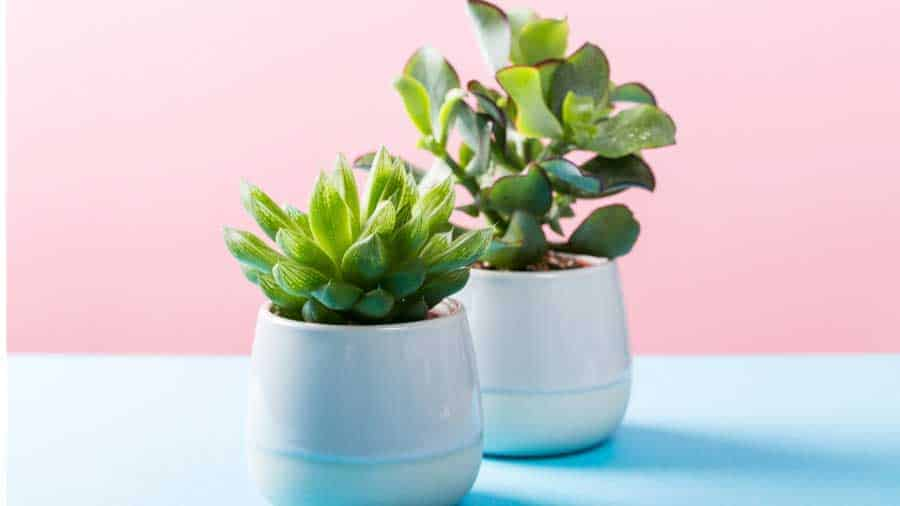 picture of succulents in decorative pots