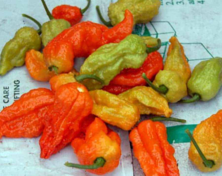 picture of ripe-chillies-that--have-been-picked