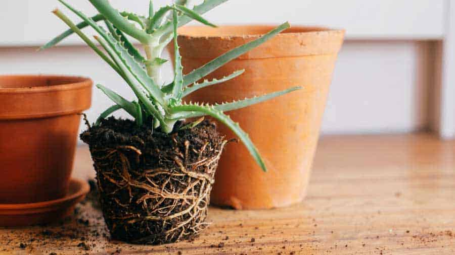 picture of root bound house plant