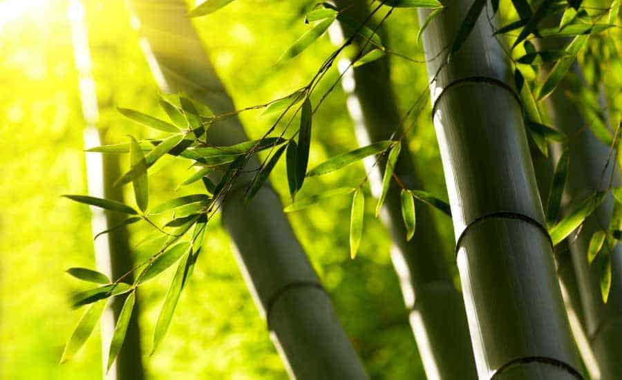 sunlight shining through bamboo