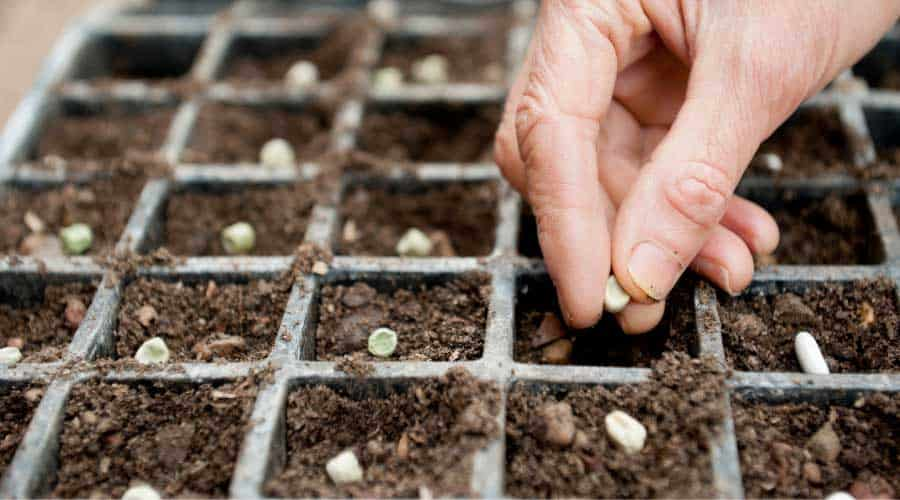 hand sowing seeds into cell tray