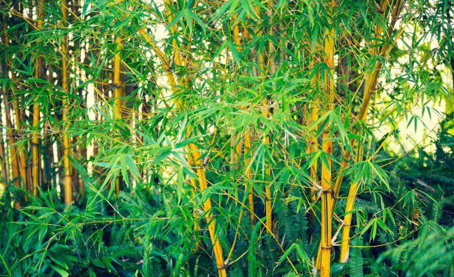 bamboo in garden