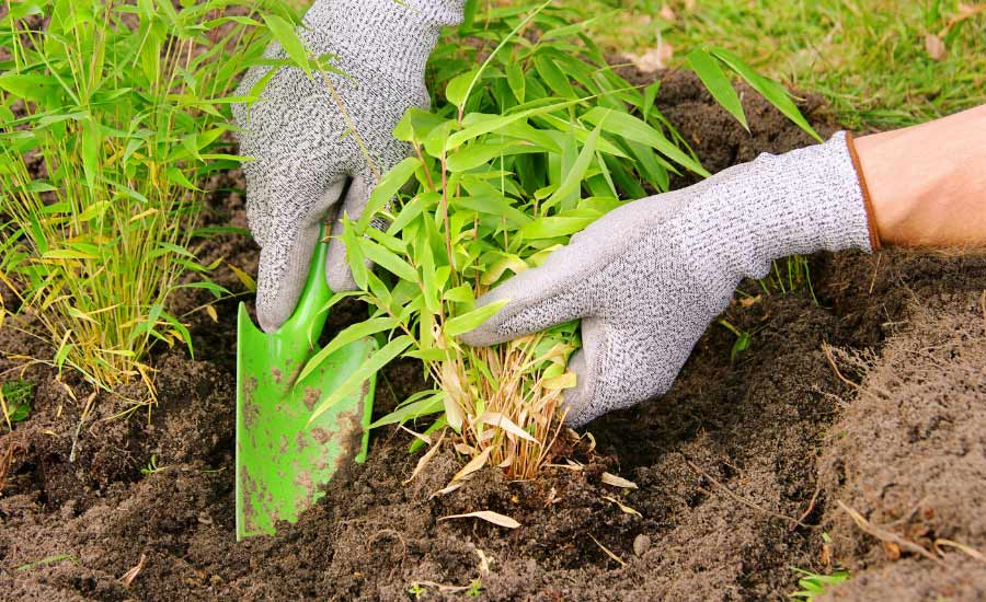hands planting bamboo