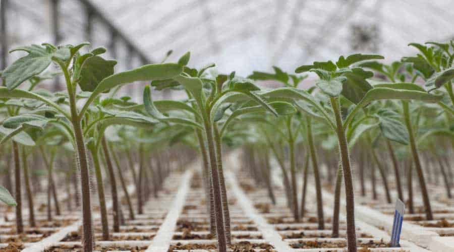 strong healthy seedlings