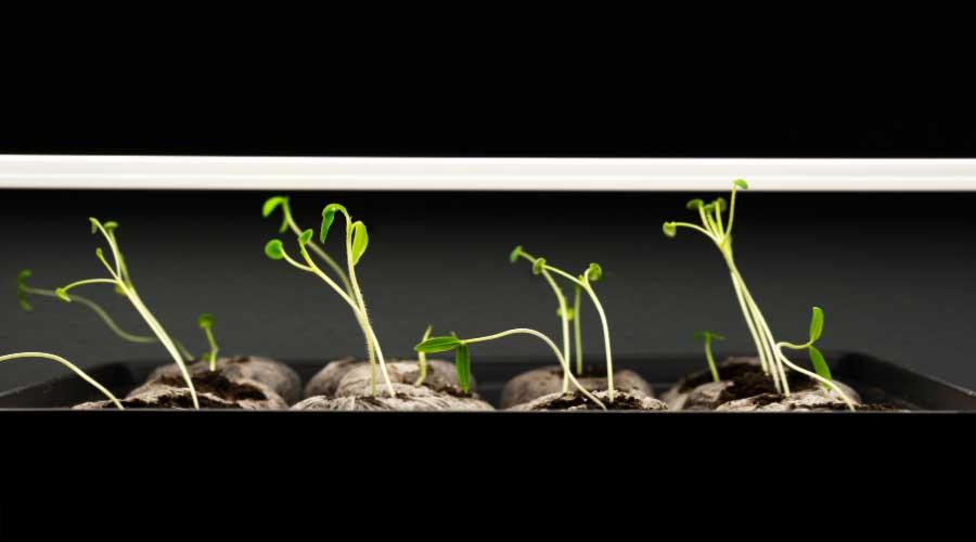 leggy seedlings under lights