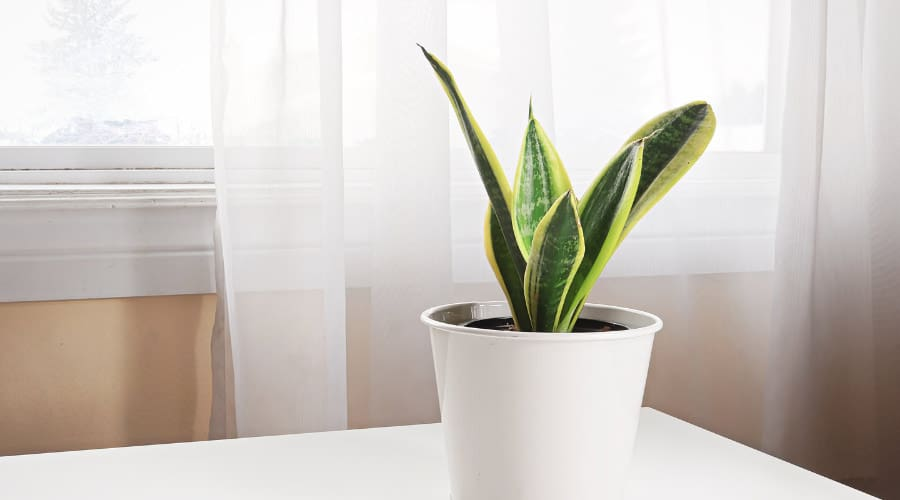 snake plant in front of window