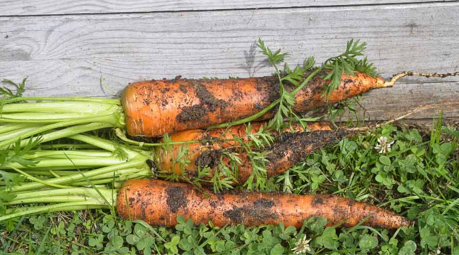 harvested carrots on the ground