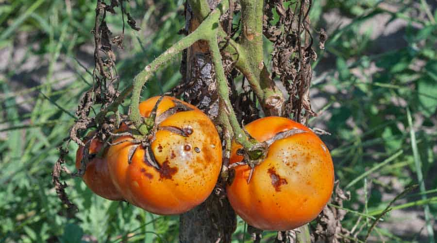 tomatoes with blight