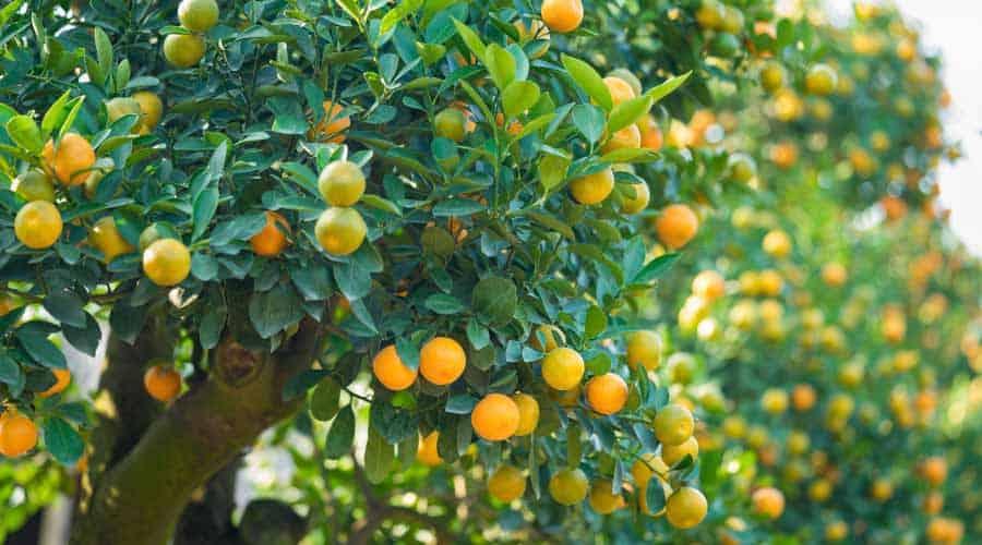 orange trees in orange grove