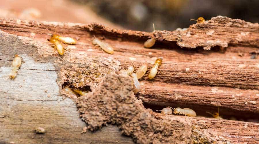 Termites on rotting log