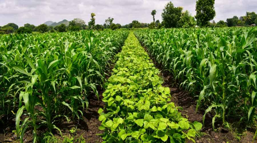 field full of crops of vegetables