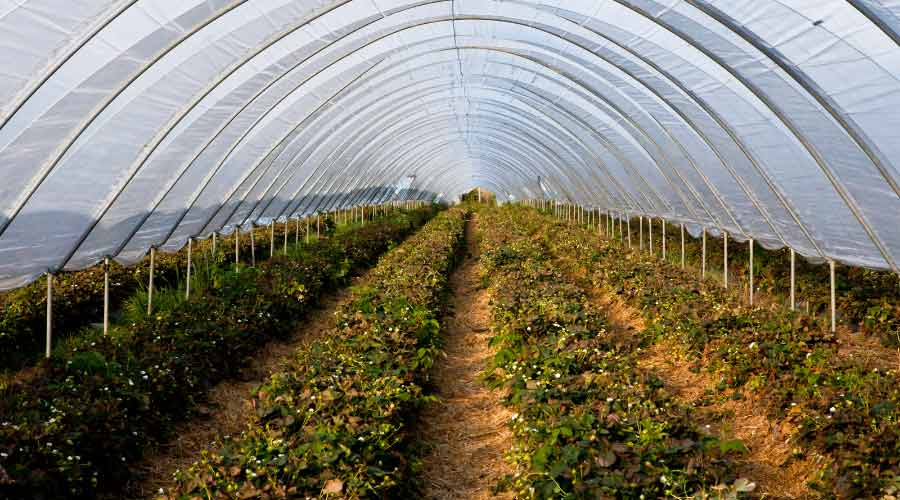 strawberries in a tunnel