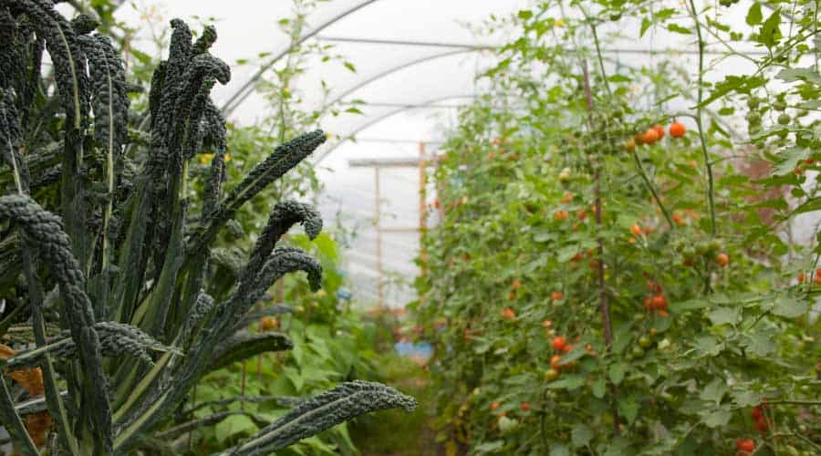 vegetables growing in a polytunnel