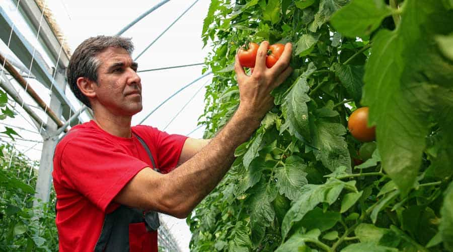 man harvesting tomatoes