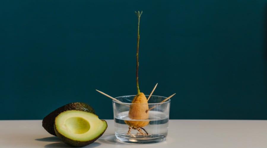 growing avocado with toothpick method