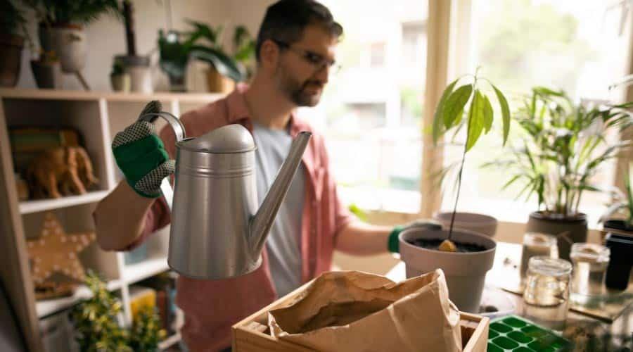 watering avocado plants indoors