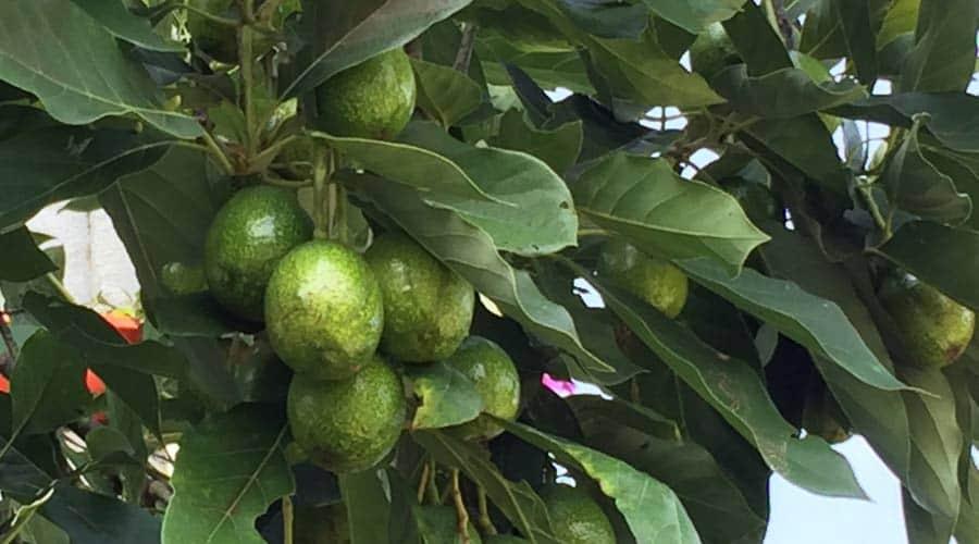 Avocado fruit on the tree