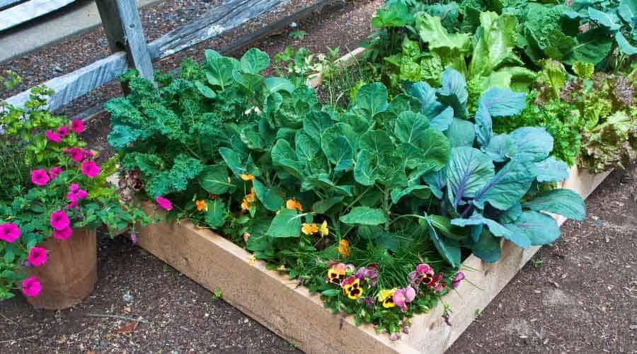 vegetable bed full of veg