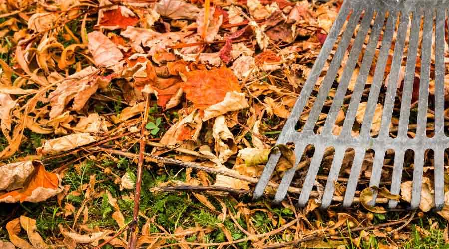raking leaves with metal rake
