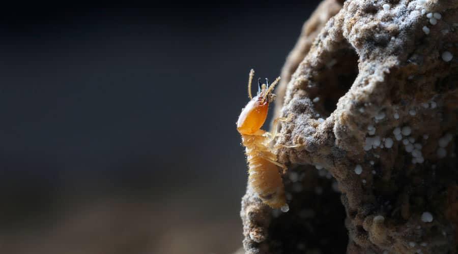 termites on tree stump