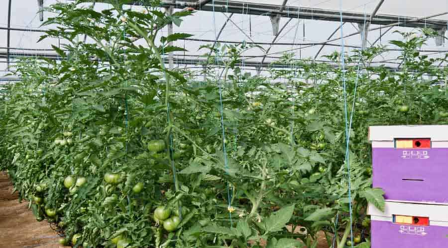 large tomato and tunnel
