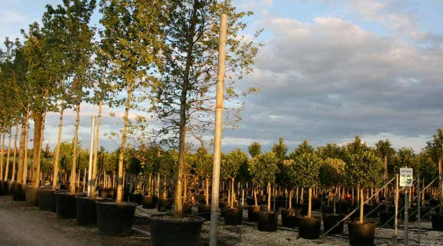 large trees for sae in pots
