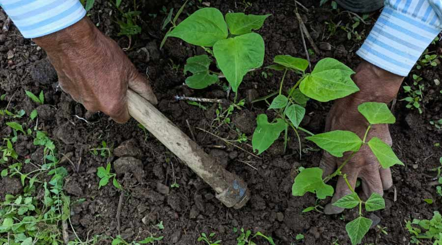 planting beans in claggy soil