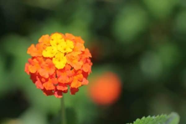 Picture of orange lantana