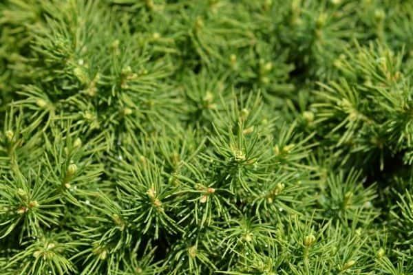 Picture of Dwarf Alberta Spruce