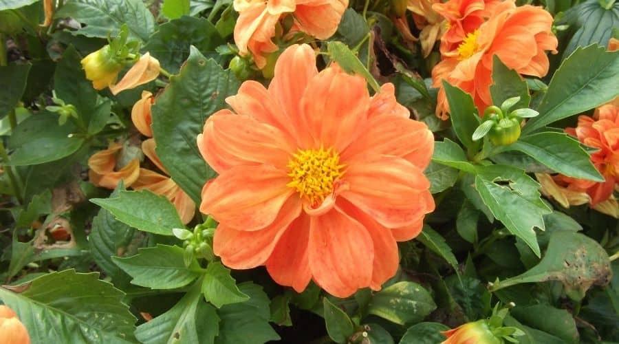 Picture of an orange garden flower