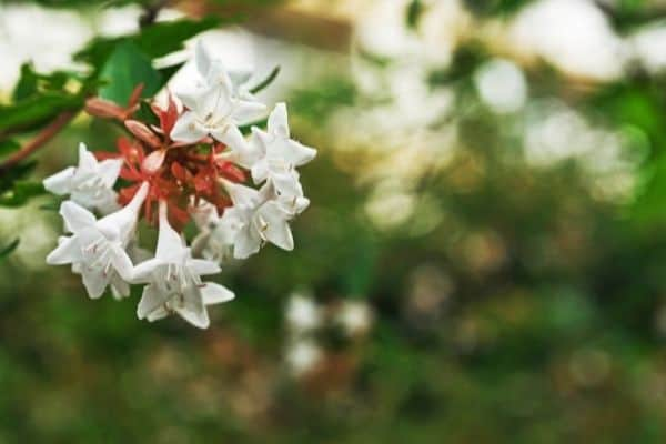 Picture of Abelia Flower