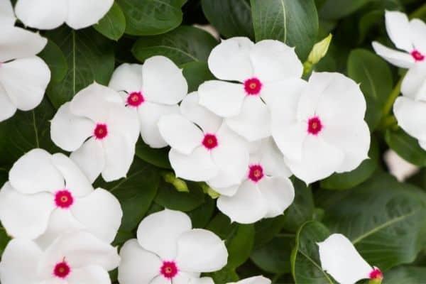 white Annual Vinca