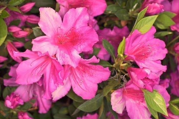 Picture of Azalea flower