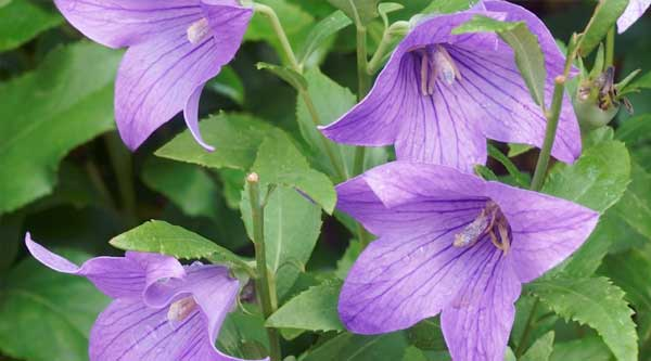 Picture of purple Balloon flower
