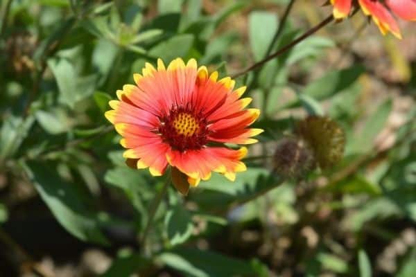picture of blanket flower