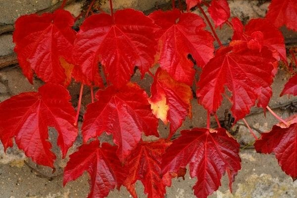 picture of boston ivy leaves