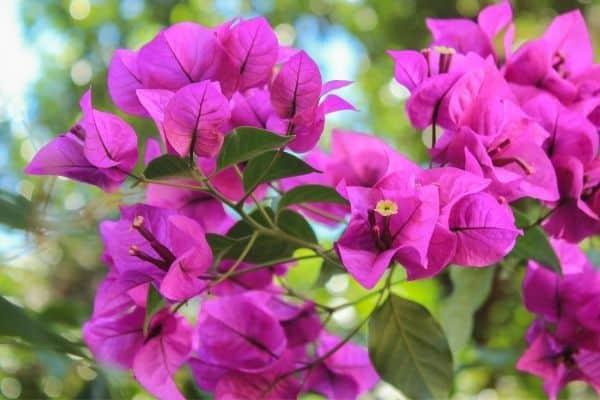 picture of bougainvillea flower